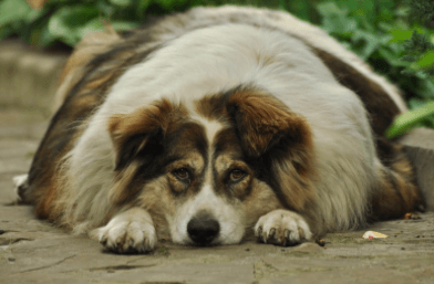 How to Help Your Overweight Dog